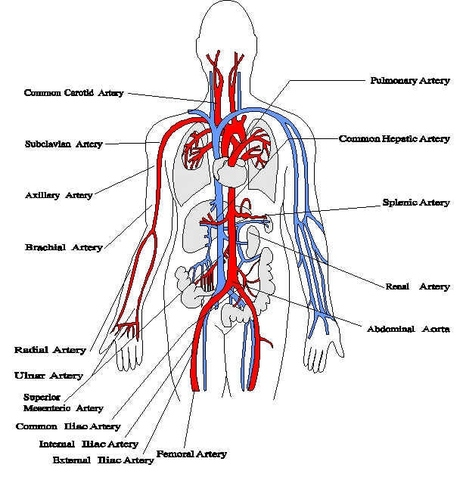 Alcmaeon of Croton discovers veins and arteries are not the same