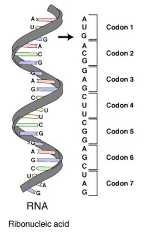 Codons/TRiplet Code in DNA