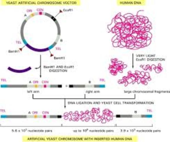 Yeast Artifical Chromosomes