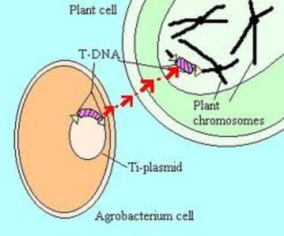 DNA is transferred