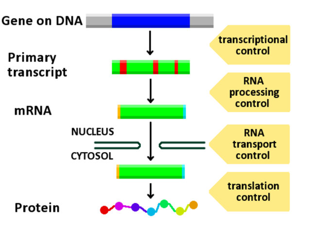 Mechanism of gene expression