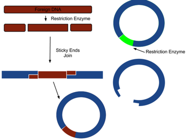 Bacterial restriction enzymes