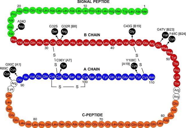 human insulin gene
