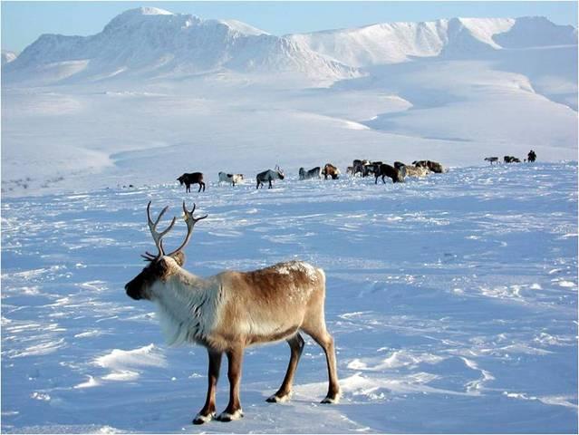 Заселение острова северными оленями