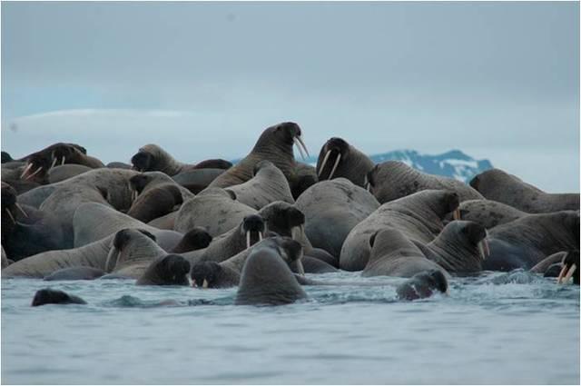 Резолюция об охране лежбищ моржей