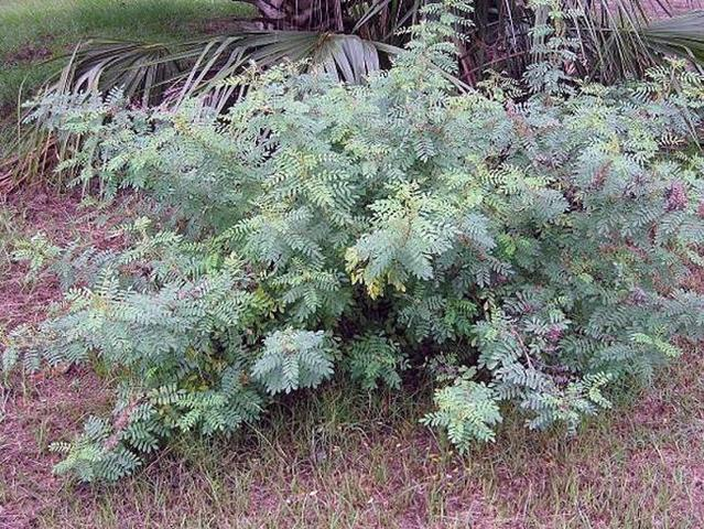 Indigo first cultivated in South Carolina