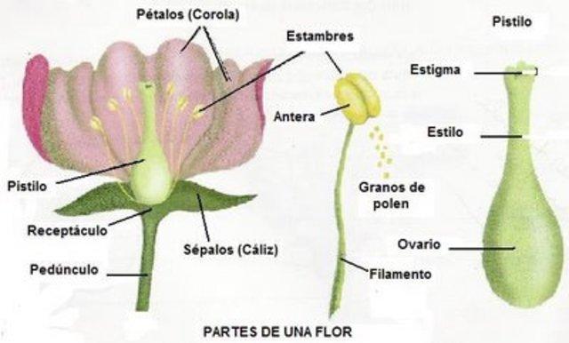 se confirma la reproducción sexual en las plantas.
