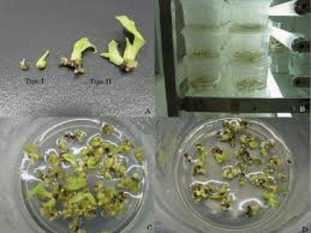 Molliard cultiva fragmentos de embriones de plantas.