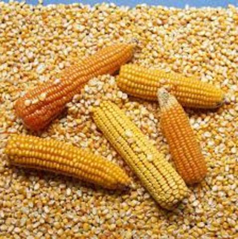 El Dr. Salomón Horovitz  logra desarrollar un maíz resistente a la langosta