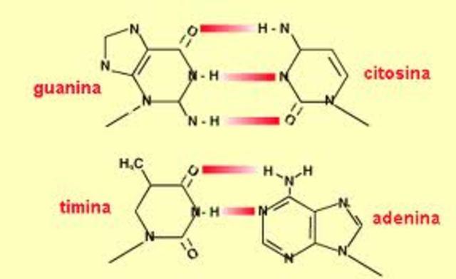 E. Chargaff  publica sus observaciones acerca de la composición de bases del ADN