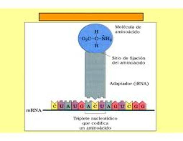 F. Crick propone la hipótesis del adaptador.