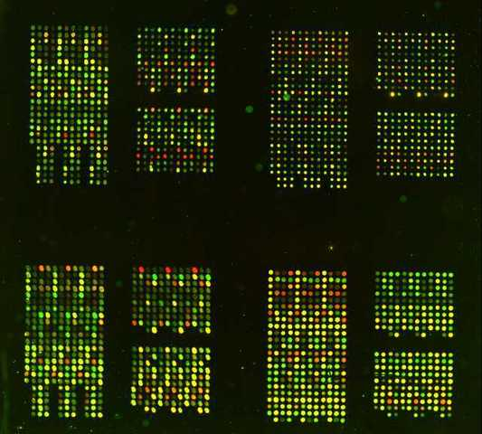 DNA microarrays son inventados por Pat Brown y colegas