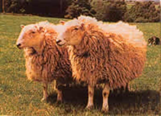 Dos ovejas, llamadas Megan & Morag, se clonan usando células embrionarias.