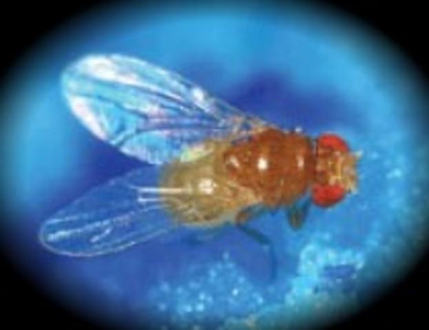Se completa el genoma de Drosophila