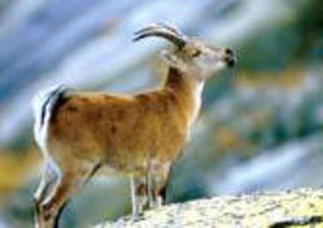 """Investigadores de la Teramo en Italia clonan el primer """"mouflon"""" a partir de células adultas"""