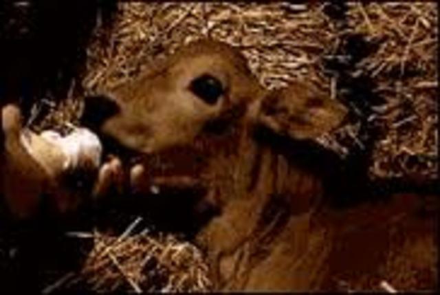 nació Pampa, la primera ternera argentina obtenida por clonado de célula fetal (fibroblasto extraído de piel).
