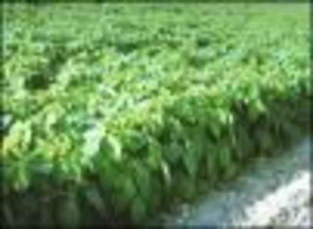 El 64% de la soja crecida en USA (imagen inferior) y el 34% del maíz de la EU son transgénicos.