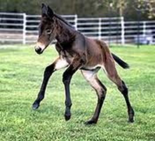 """Investigadores de la University of Idaho producen a """"Idaho Gem,"""" la primera mula clonada a partir de un feto de mula."""