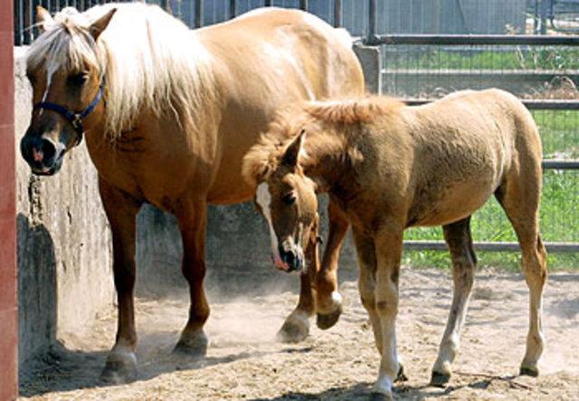 "Investigadores del Italy's Consortium for Zootechnical Improvement producen ""Prometea,"" el primer caballo clonado a partir de células adultas."