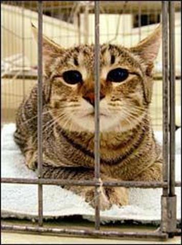 """Investigadores del Audubon Center for Research of Endangered Species producen """"Ditteaux,"""" el primer gato montés africano clonado (Felis silvestris) a partir de células adultas"""