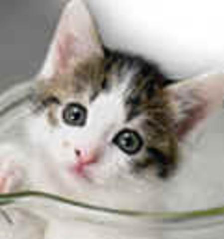 """Julie de Dallas, Texas es el primer cliente en recibir una mascota clonada por la compañía Genetic Savings & Clone denominada """"Little Nicky,"""" que era un clon de su gato Nicky"""