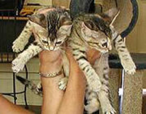 . Una empresa estadounidense dedicada a la clonación de mascotas dice haber reproducido exitosamente a dos gatas: Tabouli y Baba Ganoush.