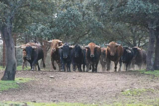 Una serie de toros es clonada. Estos  toros son  resistentes a brucelosis y su esperma se puede guardarse congelado por años.
