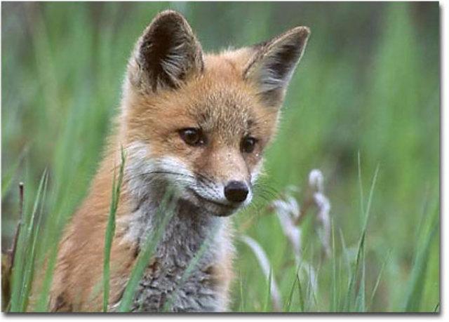 """""""The Fox"""""""
