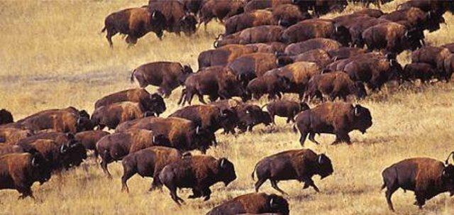 Diminished Buffalo Herds