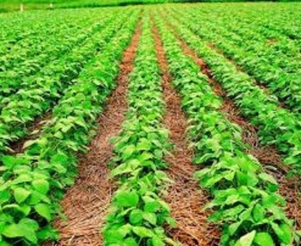 Cultivos modificados