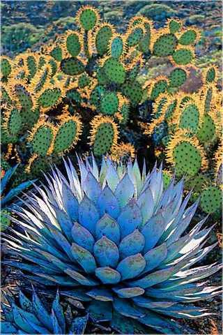 Clasificación del agave azul weber