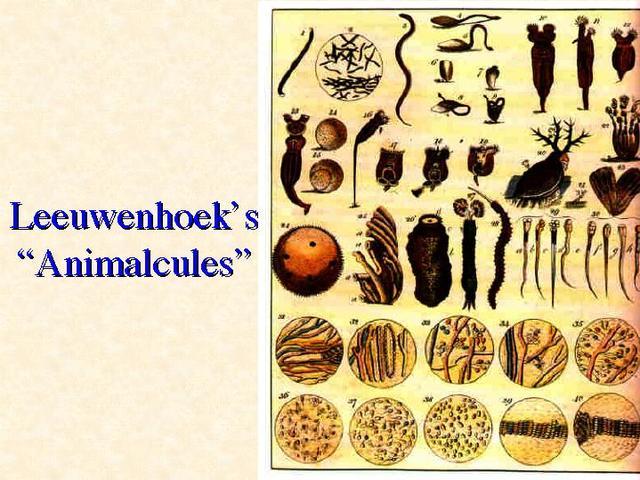 """Leeuwenhoek Discovers """"Animacules"""""""