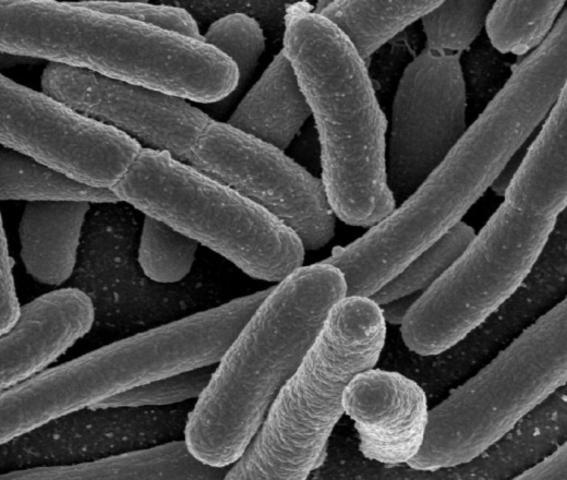 Leeuwenhoek Discovers Bacteria