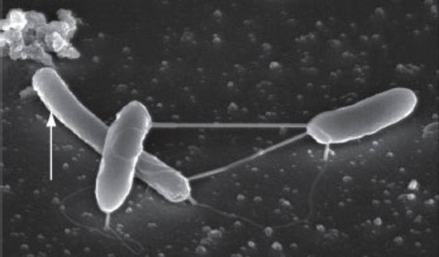 Proceso de esporulación en Mycobacterium.