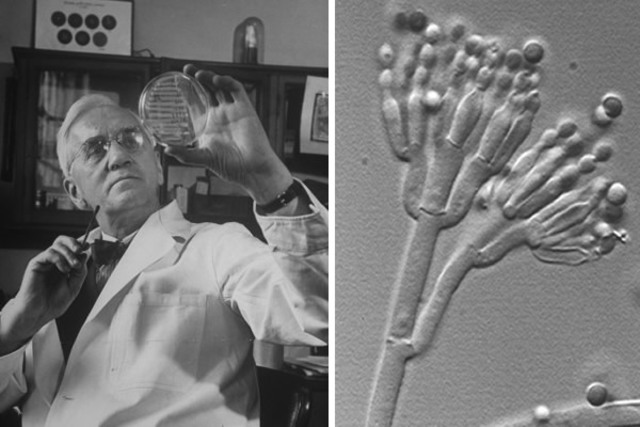 Alexander Fleming aísla la penicilina de un cultivo de Penicillium notatum.