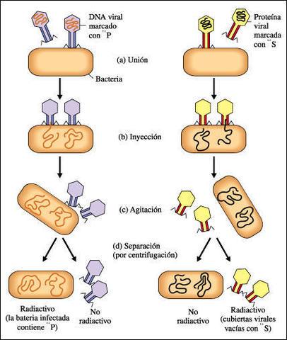 Alfred Hershey y Martha Chase demuestran que el DNA era el material genético de algunos virus.