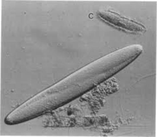 Clements y Bullivant descubren Epulopiscium fishelsoni, la mayor célula procariota.