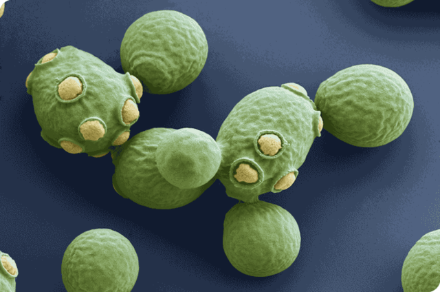 se secuencia el genoma del hongo Saccharomyces cerevisiae