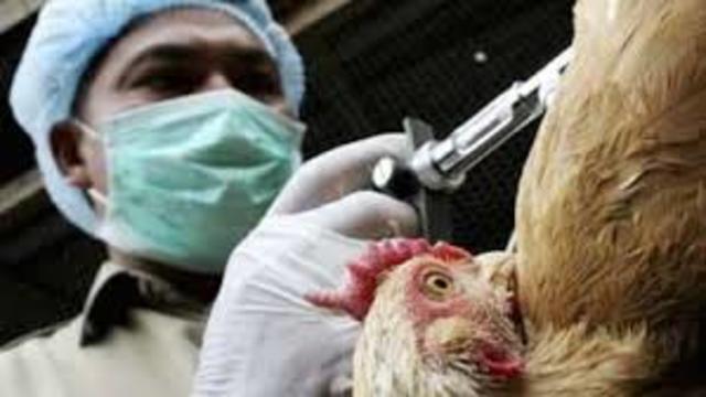 Gripe Aviar (H5N1)