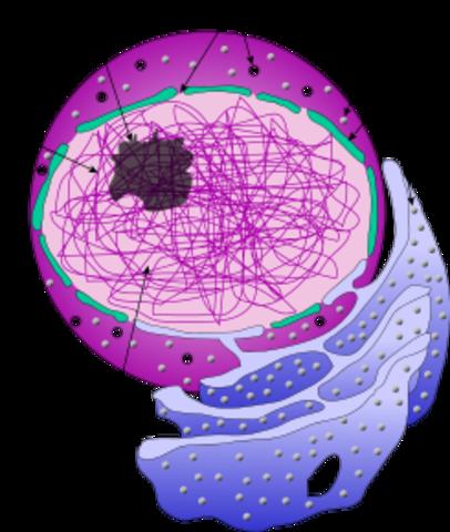 se da el termino ''Nucleo Celular''