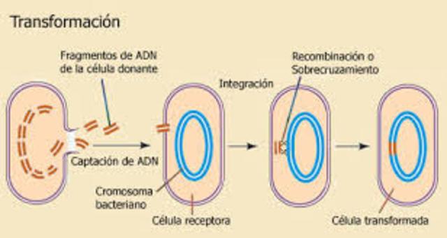 transformación bacteriana.