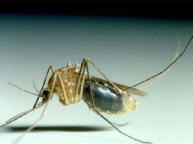 fiebre amarilla es transmitida por mosquitos