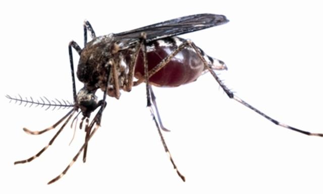 la fiebre amarilla es transmitida por mosquitos.