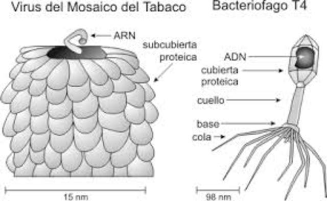 Mosaico del tabaco es producido por un virus.