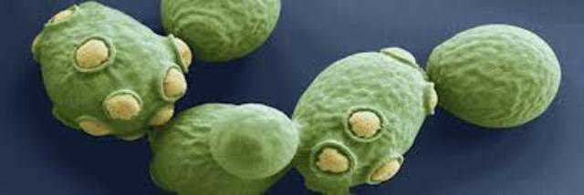 hongo Saccharomyces cerevisiae.