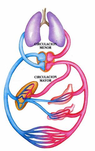 William Harvey describio la circulacion mayor o aortica