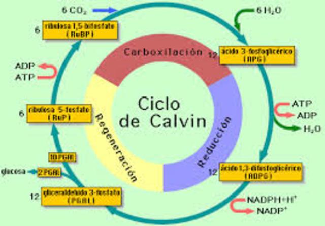 CICLO DE CLAVIN