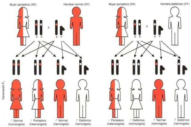 herencia genetica