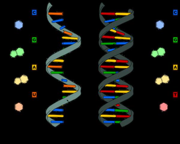 SEVERO OCHO ARN-POLIMERASA