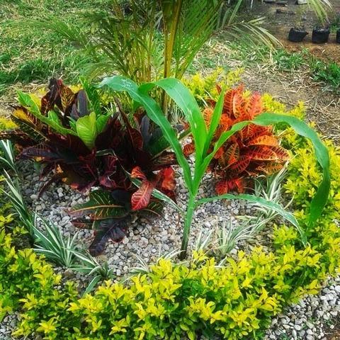 Plantas transgeneristas